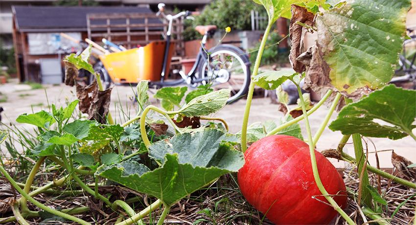 Vélo cargo dans un jardin, avec une citrouille au premier plan